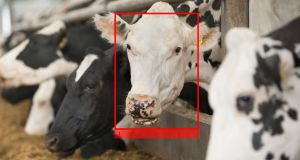 Irish start-up Cainthus uses predictive imaging to monitor the health and wellbeing of livestock. Photograph: iStock