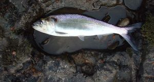 Shad - seldom seen in Irish and UK waters