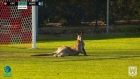 Big lad up front: kangaroo invades pitch during football match