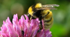 The Great Yellow Bumblebee. Photograph: John Breen