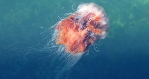 Lion's mane jellyfish  off Newquay, Co Clare earlier this month. Photograph: Tom Doyle