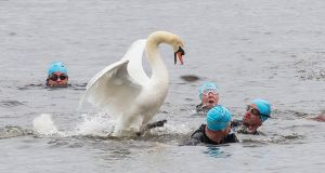 A swan fends off athletes taking part in the TriAthy Triathlon in Kildare. It was doing so as it had two cygnets close by. Photograph:  michaelorourkephotography.ie