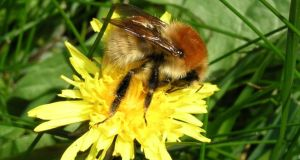 The Larger Carder Bee, one of many Irish species under threat. Photograph: John Breen