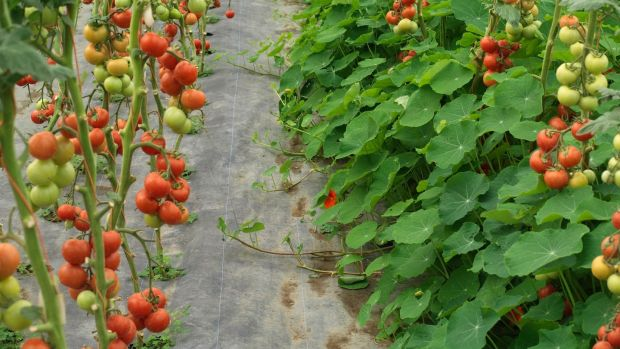 Tomatoes growing under cover in the organically managed glasshouses of Ballymaloe Cookery School in Co Cork. Photograph: Richard Johnston