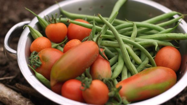 Freshly harvested French beans and tomatoes. Photograph: Richard Johnston