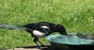 """Put out a bowl of water, maybe with a stone in the centre so smaller birds can perch on it while drinking."" Photograph: iStock"