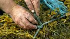 Johnny Clochartaigh harvesting seaweed near Carna, Co Galway. Photograph: Joe O'Shaughnessy
