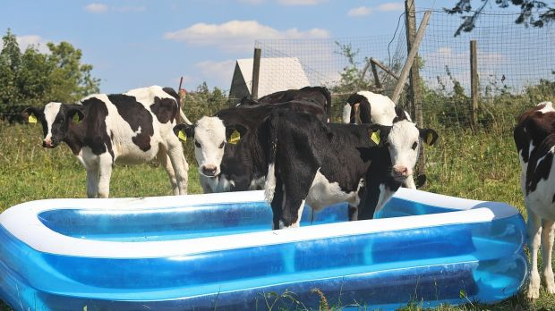 Come in the water's fresian: Calves on John Tilson's farm at Gartnaskill, Co Cavan, cool off in the warm weather. Photograph: Lorraine Teevan