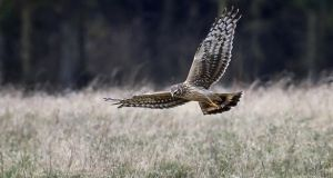 The hen harrier is among the birds that BirdWatch Ireland says will be threatened by the new legislation. Photograph: iStock