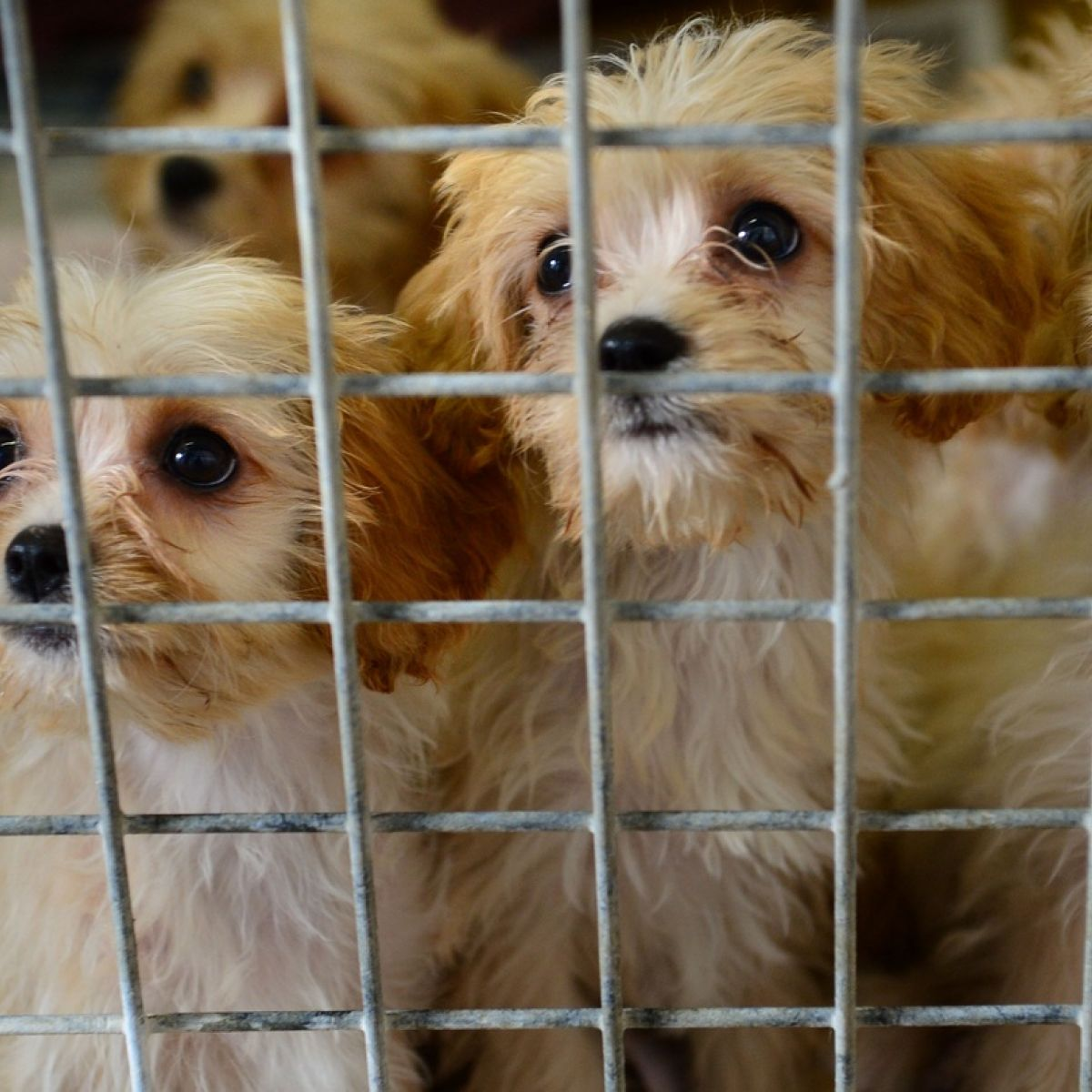 New rules aim to combat Ireland's reputation as puppy farm