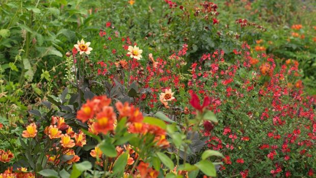 Hot colours in Altamont's walled garden's herbaceous border. Photograph: Richard Johnston