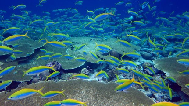 Thriving fish in a healthy coral system. Photograph: Nick Graham