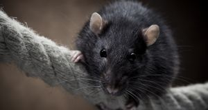 Exterminating black rats on tropical islands is the best way to help coral reefs, a team of scientists has concluded. Photograph: iStock