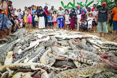 TOOTH FOR A TOOTH: Indonesian locals stand near the carcasses of hundreds of crocodiles at a breeding farm in Sorong regency, West Papua, Indonesia. According to media reports, angry locals killed hundreds of the crocodiles after a man was killed by one of them. Photograph: EPA