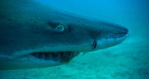 Sand tiger shark as it gapes mouth revealing sharp teeth near North Carolina. Photograph: Paulo Velozo/National Geographic
