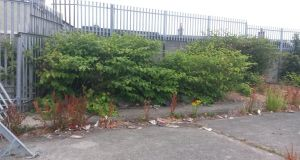 It doesn't look like much but Japanese knotweed is a threat to homes