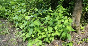 Japanese knotweed, an incredibly invasive plant