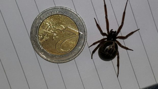 Alien Killer Spider Eats Native Lizard In First Recorded