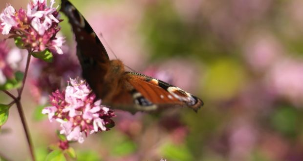 A Peacock Butterfly Feeding On The Nectar Rich Flowers Of Oregano Growing  In Ashtown Walled