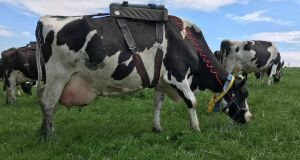 A cow with methane-collection equipment on her back. Grass is a cheap way to feed cows, but as  methanogens break  down grass in the stomach they  produce methane,  a potent greenhouse gas Photograph:   Rachel Doyle