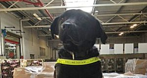 Elvis the Revenue detector dog who, along with his colleague Stella, was part of a joint intelligence-led operation involving Revenue's Customs Service and An Garda Siochána. Photograph: Revenue