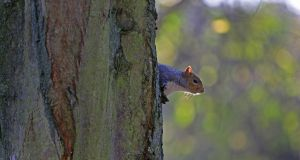 Squirrels can be 'very persistent, not just running behind someone, but entirely fixated on them'.  File photograph: Nick Bradshaw