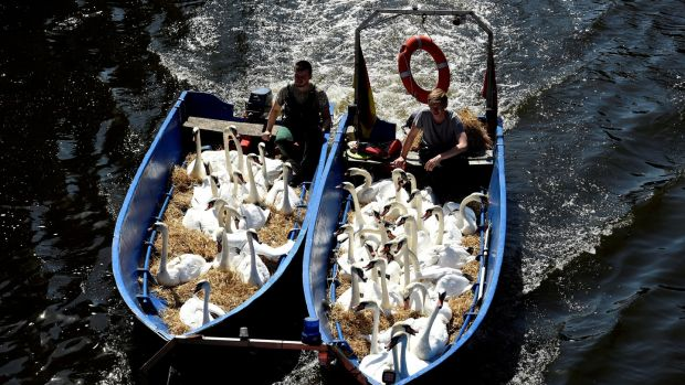 Swans sit in boats as they were caught at Hamburg's inner city lake Alster. Due to hot weather the swans are collected and taken to quarters where they usually spend the winter. Photograph: Fabian Bimmer/Reuters