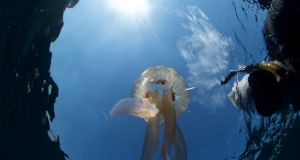 A jellyfish (Pelagia noctiluca) with snorkeler. Photograph: Brian Stone