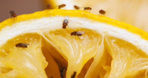 What's the story with all the fruit flies – and how do you