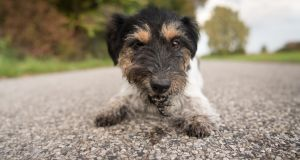 Stock image of a Jack Russell terrier. Photograph: iStock