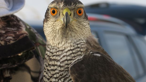 Falconry: 'An exceptional way to interact with nature'