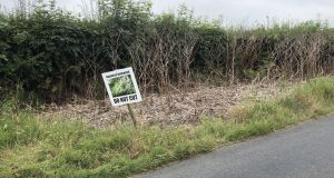 """Knotweed seems to have displaced ragwort as the Irish plant world's public enemy number one"""
