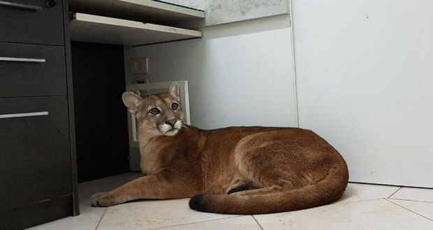 File photograph of a puma. Photograph: AFP/Getty Images