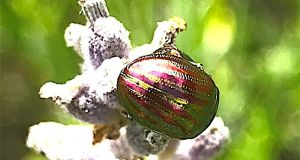 The rosemary or lavender beetle.