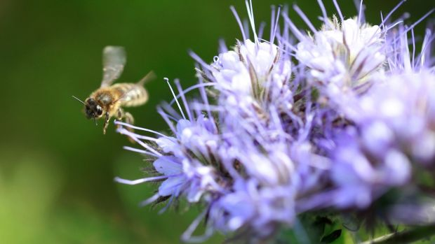 A bee among the Phacelia crop in Rathdrum, Co Wicklow. Photograph: Nick Bradshaw/The irish Times