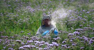 Wicklow beekeeper Dermot Fanning among the crop of Phacelia in Ballinakill, Rathdrum, Co Wicklow. Photograph: Nick Bradshaw/ The Irish Times