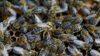 The Queen bee is marked with a hellow dot in the hive. Photograph: Nick Bradshaw/ The irish Times
