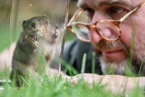 TRUST WORTHY: National Trust conservation manager Alex Raeder with one of 150 specially bred water voles, which will be reintroduced at six carefully chosen sites on river and stream banks across the National Trust's Holnicote Estate, Exmoor, England. Photograph: Ben Birchall/PA Wire