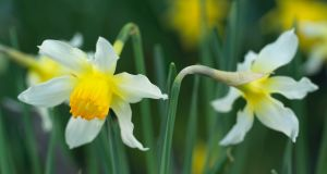 You can have daffodils flowering in your garden from February right through to May. Photograph: Richard Johnston