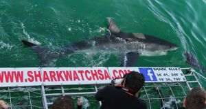 A Great White shark with Marine Dynamics Shark Tours