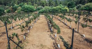 A vineyard in one of the disputed settlements. Minister for Foreign Affairs Simon Coveney has said the Government opposes Israeli settlements on Palestinian lands. File photograph: Getty Images