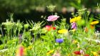 Wild-flower meadow. Photograph: Moment/Getty