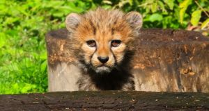 LITTLE KITTIE: A young Cheetah cub stands at the enclosure in the zoo in Opole, Poland on September 24th. Three young Cheetahs (acinonyx jubatus) were born nine weeks ago at the Zoo in Opole. Photograph: Krzysztof Swiderski