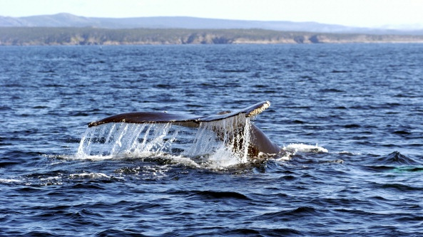 Humpback whale off the coast of Newfoundland, Canada. Photograph: MyLoupe/UIG via Getty Images