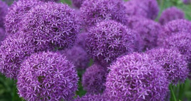 Time to plant your sleeping beauties the violet drumstiock flowers of allium globemaster an early summer flowering bulbous mightylinksfo