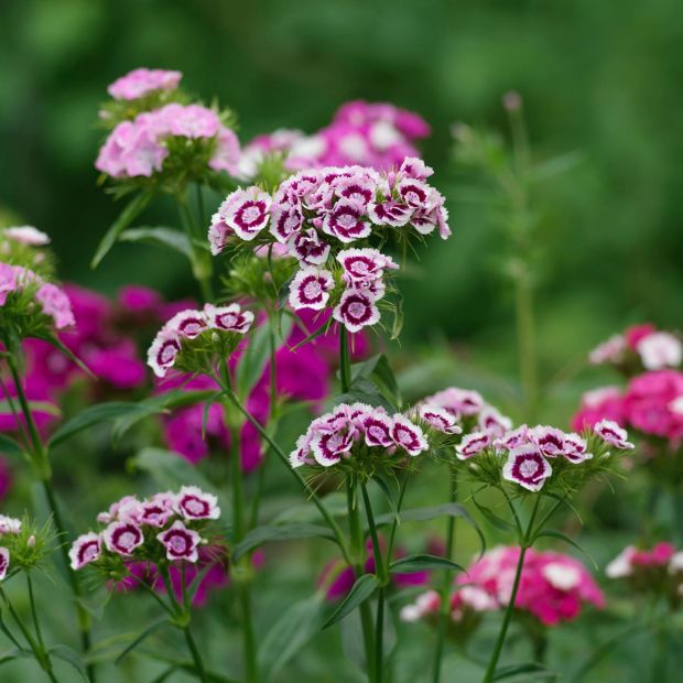 Sweet William growing in an Irish garden. Photograph: Richard Johnston