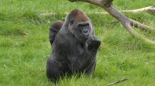 "The dominant male in a gorilla group services a harem, hogging all the sex with all females in the group and denying the subservient males any ""look-in"". Photograph: Alan Betson"