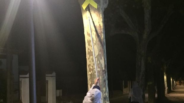 A unionist activist removes a separatist yellow ribbon from a tree in in Canet de Mar. Photograph: Guy Hedgecoe