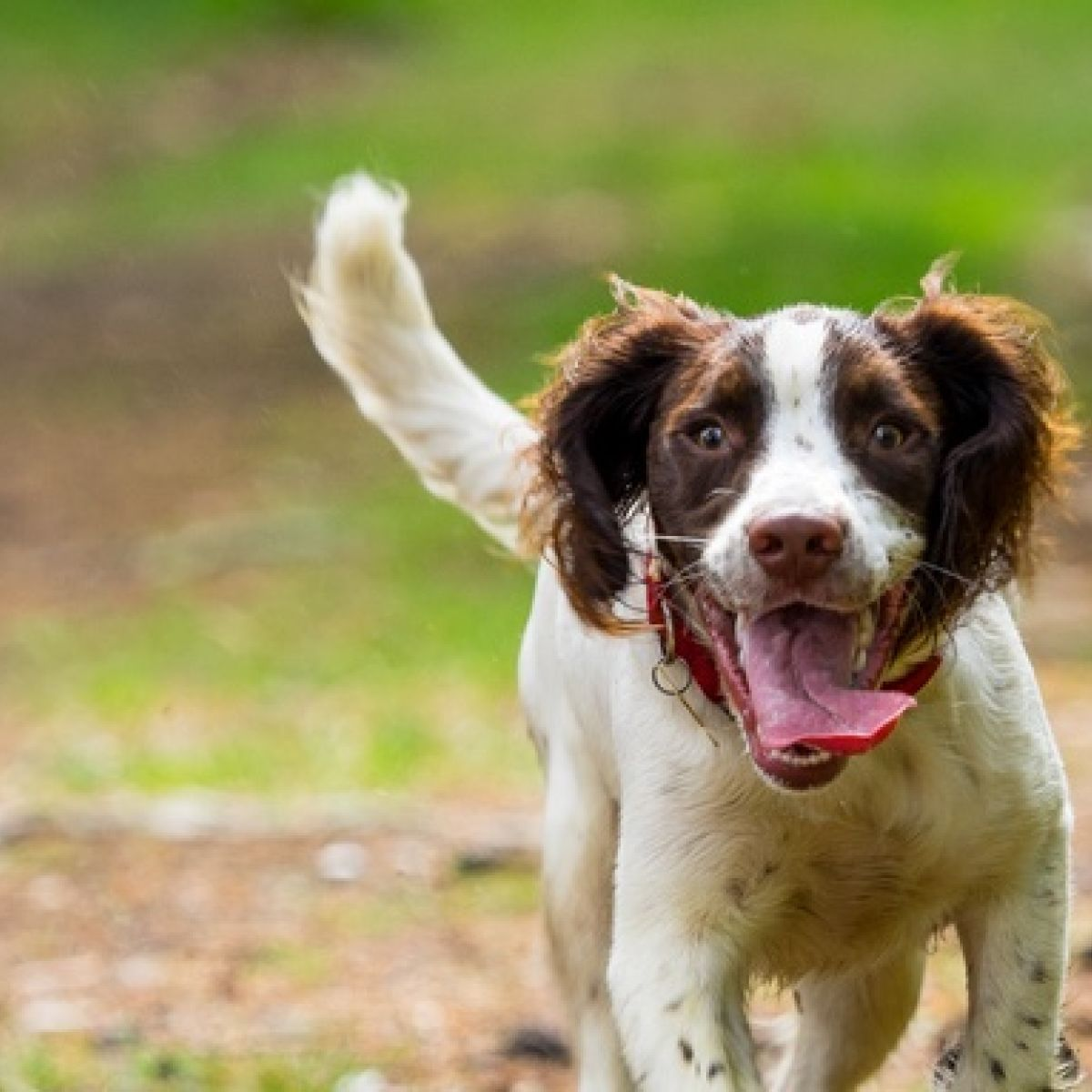 Dogs are no smarter than goats, scientists say