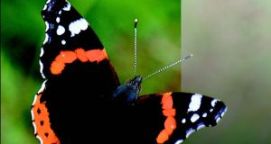 Red Admiral from the illustrated guide to the flora and fauna of Portmarnock Golf Club